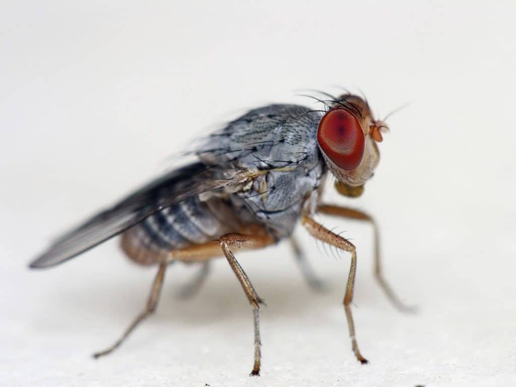 fruit fly penis
