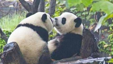 darling panda bears kissing