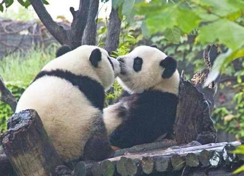 darling panda bears kissing